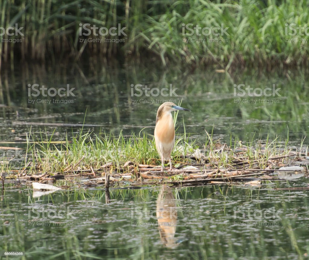 Squacco heron perched on a floating raft of grass reeds royalty-free stock photo
