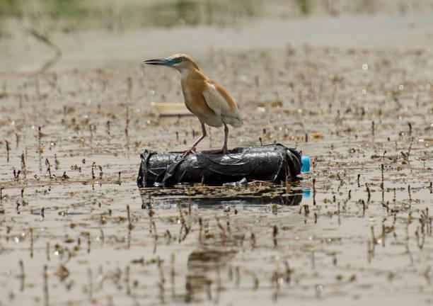 squacco heron zat op een plastic fles - ornithologie stockfoto's en -beelden