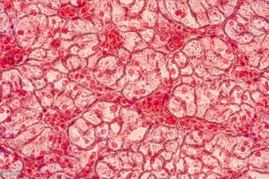 Células epiteliais escamosas sob microscópio ver em histologia de educação. - foto de acervo