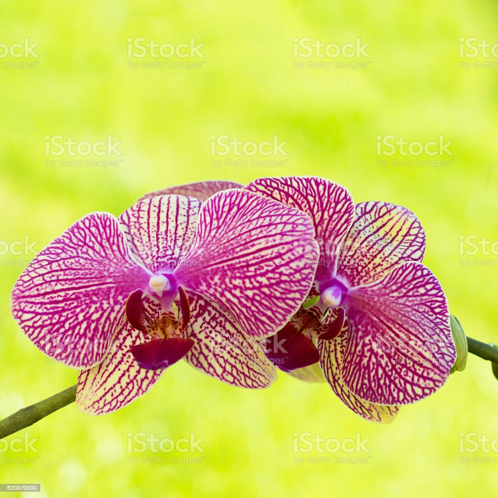 Square image of pink orchids zbiór zdjęć royalty-free