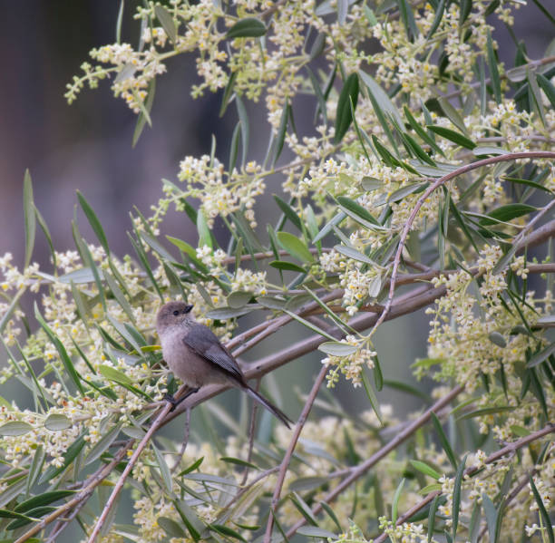 vierkant beeld van songbird in een olijfboom - zanger vogel stockfoto's en -beelden