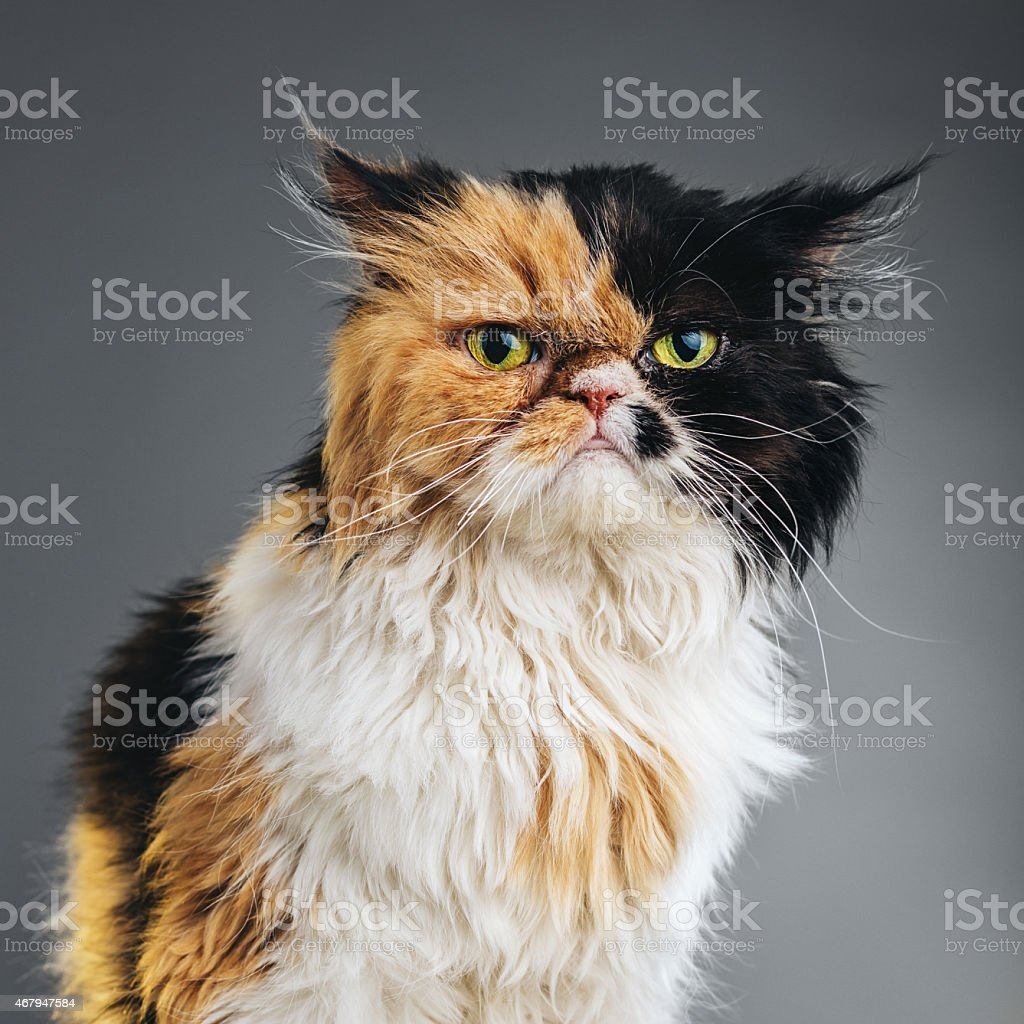 Square Portrait of a Persian Cat Looking at Camera. stock photo