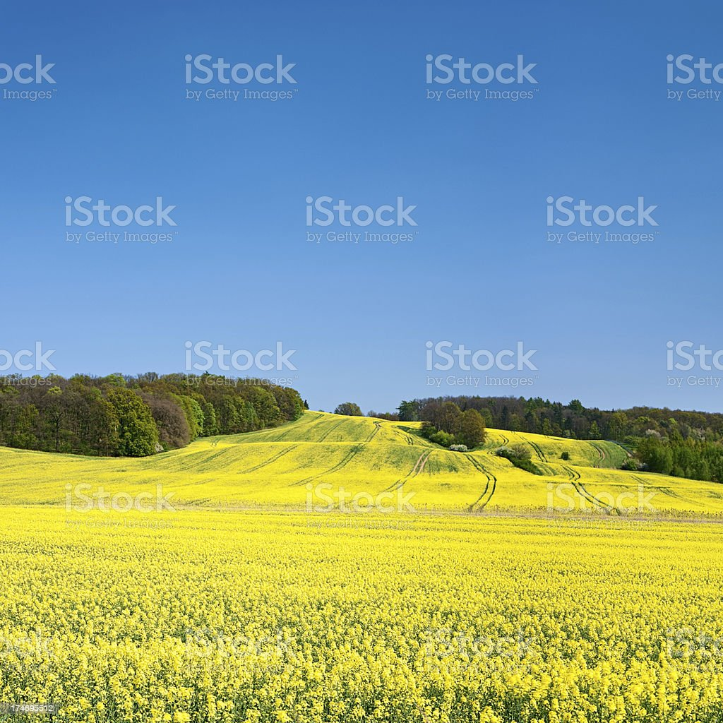Square spring landscape 32MPix XXXL - oilseed rape, blue sky royalty-free stock photo