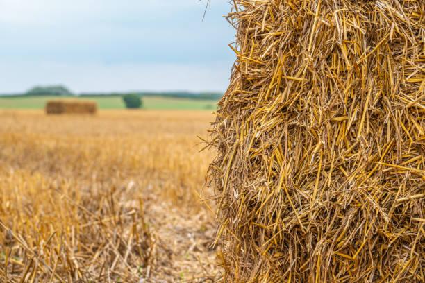 quadratische Strohballen liegen nach der Getreideernte auf einem Feld – Foto