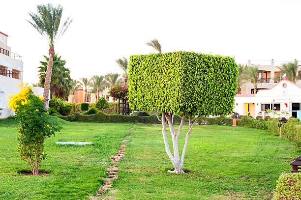 Square Topiary Tree In Egyptian Formal Garden Summertime Outdoors
