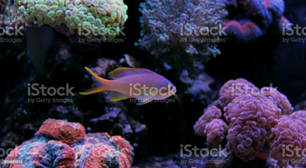 Squareback Anthias (Pseudanthias pleurotaenia) stock photo