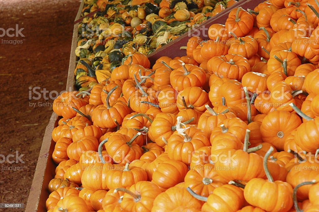 Squash and Mini Pumpkins royalty-free stock photo