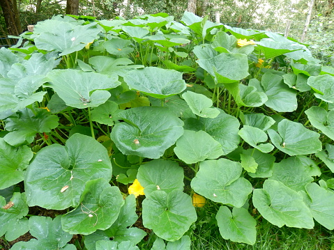 Squash and Pumpkin Bed
