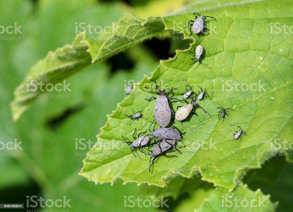 Squash Bugs stock photo