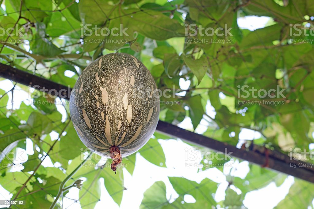 squash cushaw pumpkin or cucurbita mixta on tree stock photo