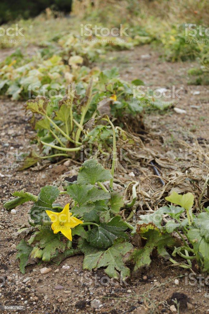 스쿼시 야채 정원에서 성장 하는 꽃 - 로열티 프리 0명 스톡 사진