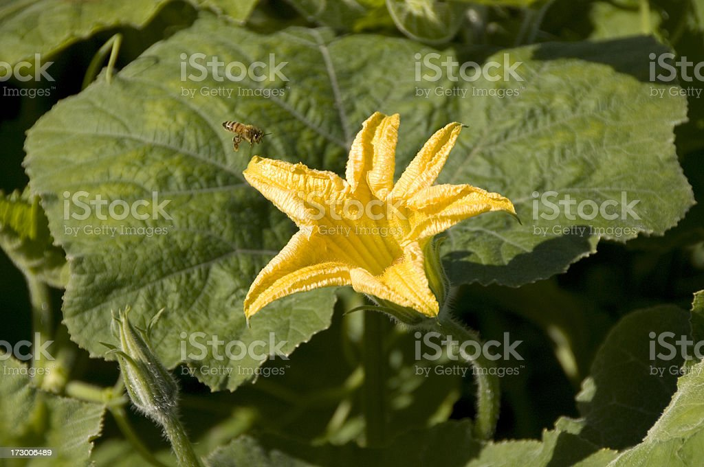 Squash Flower royalty-free stock photo