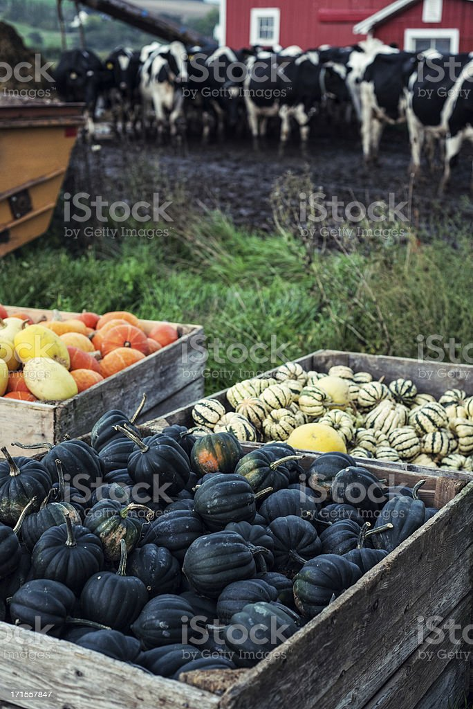Squash in Crates royalty-free stock photo