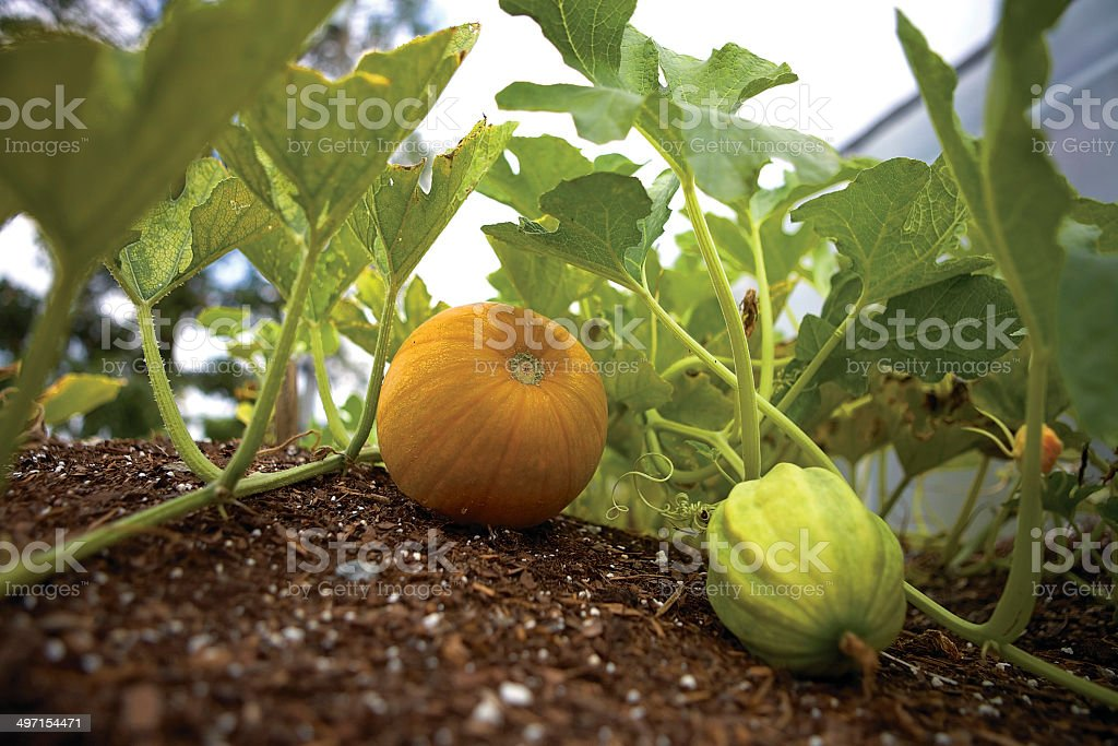 Squash on the Vine stock photo