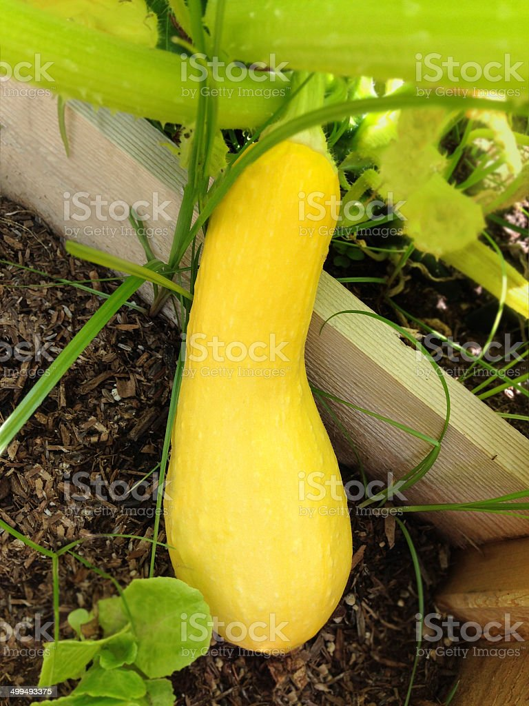 Squash yellow on the vine stock photo