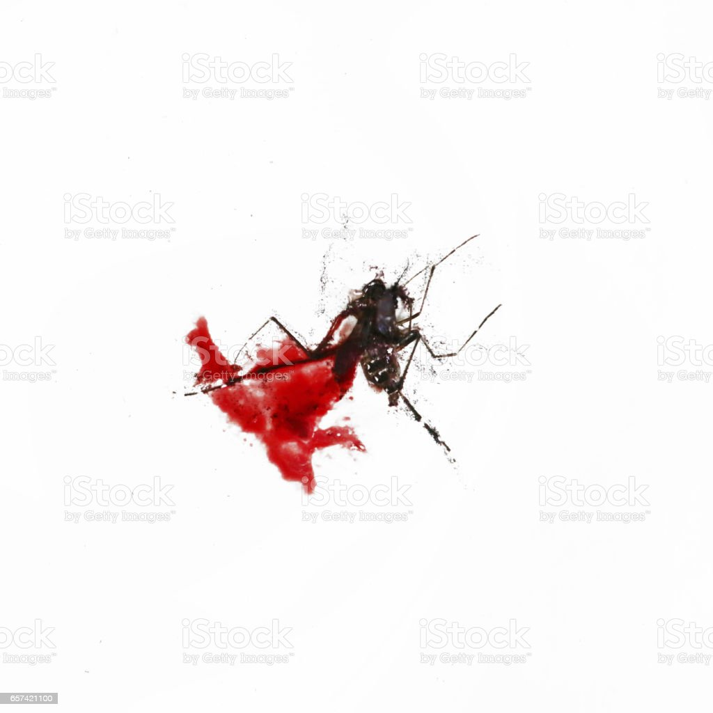 Squashed mosquito on the white background stock photo