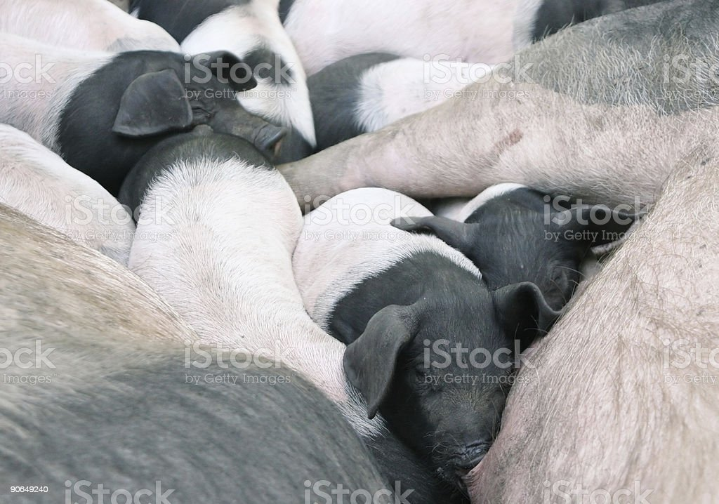 Squashed piglets 2 stock photo