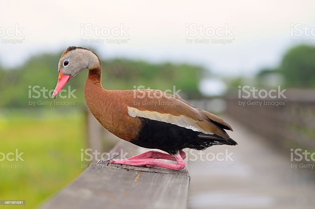 Squating Black-bellied Whistling Duck stock photo