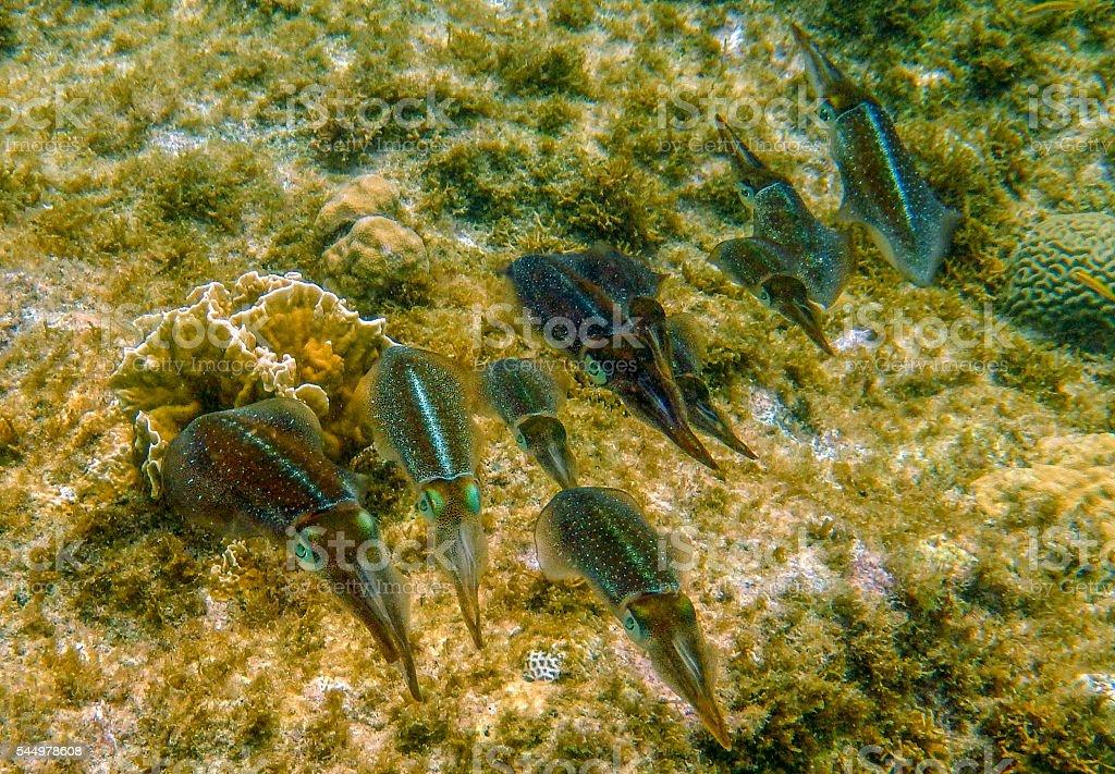Squid family underwater in Curacao stock photo