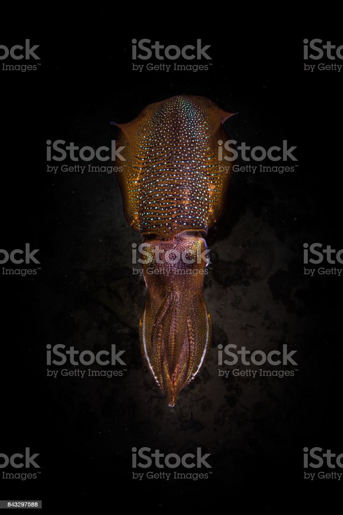 Squid in Dark Nighttime Waters stock photo