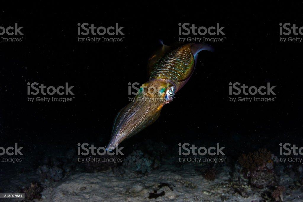 Squid in Dark of Night stock photo
