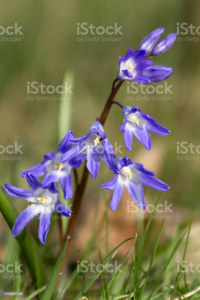 Squill closeup against green blur. stock photo