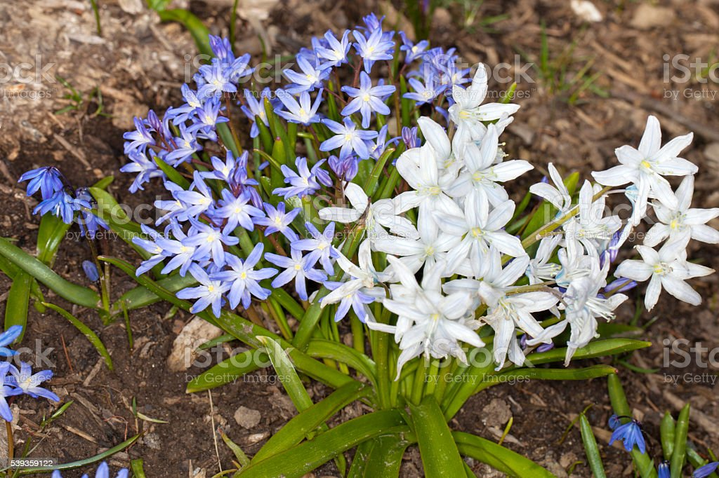 Squill Flower stock photo