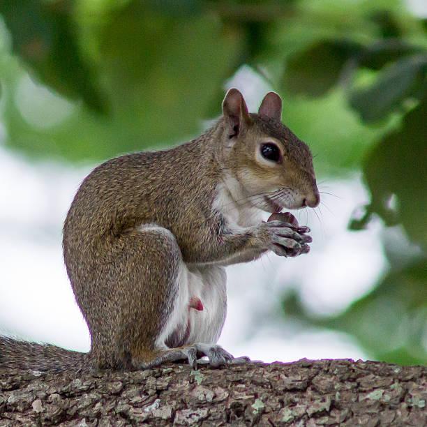 squirel eating a nut-englische redewendung - tierpenis stock-fotos und bilder