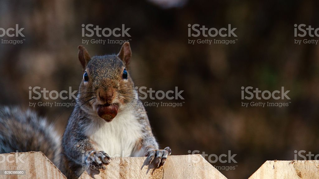Squirel on fence stock photo