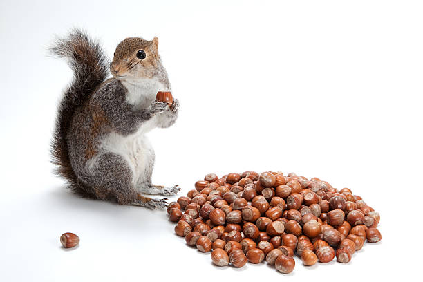 squirelling nuts - squirrel stock photos and pictures