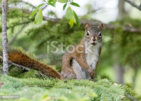 A Gray Squirrel sits on a branch of a Pine tree. Taken in Red Deer, Alberta