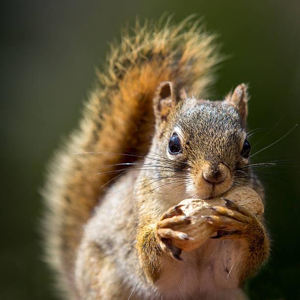 Écureuil et cacahuètes - Photo