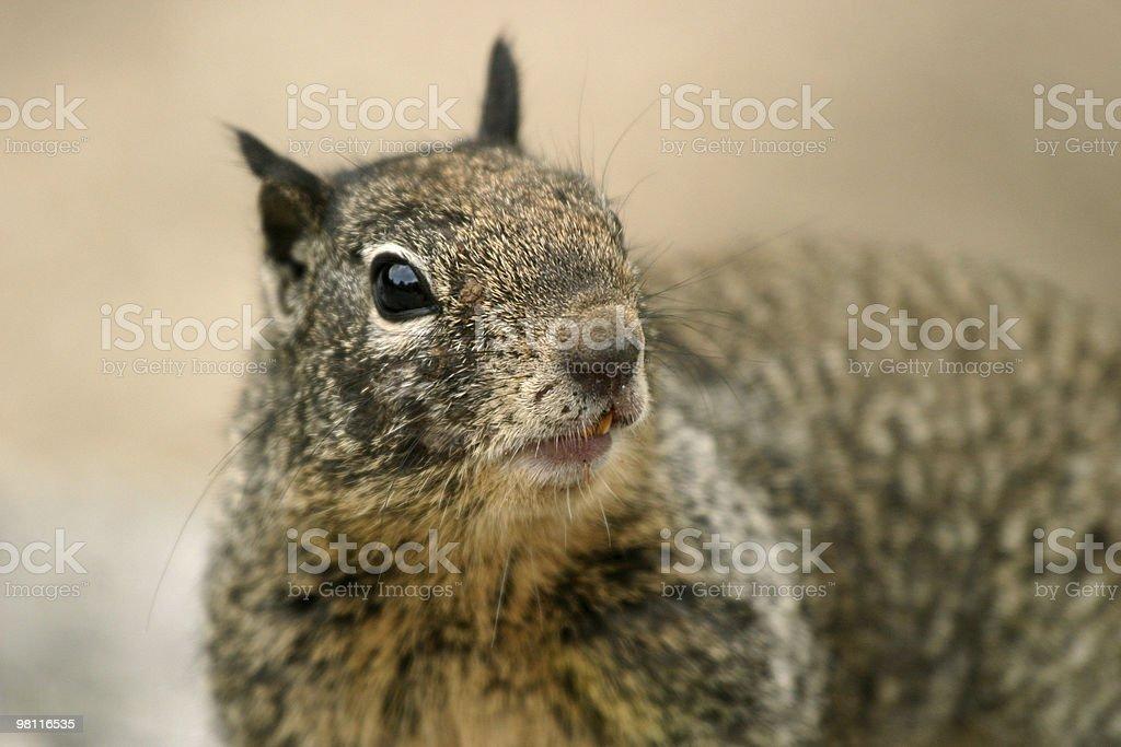 Squirrel at Yosemite NP royalty-free stock photo