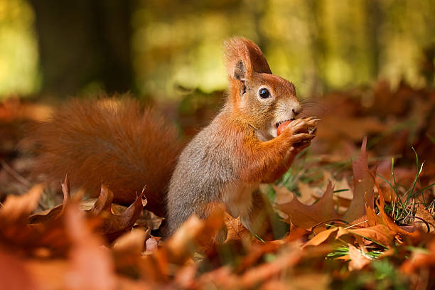 Squirrel, Autumn, nut and dry leaves stock photo