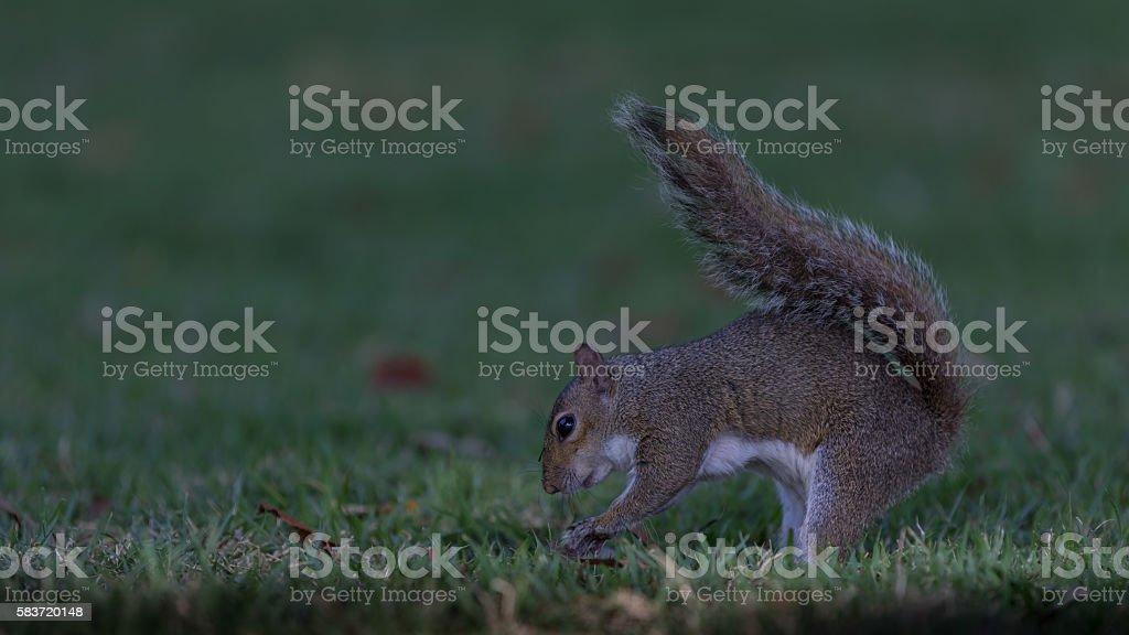 Squirrel Burying a Nut, Winter Park, Orlando, Florida stock photo
