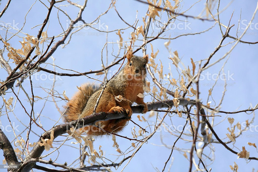 Squirrel Checking on ME royalty-free stock photo