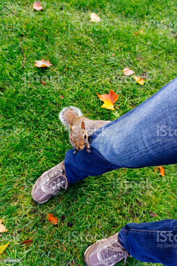 Squirrel climbing a person's leg foto stock royalty-free
