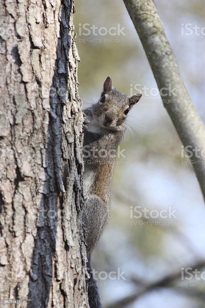 Squirrel climbing a tree, New Orleans, Louisiana royalty-free stock photo