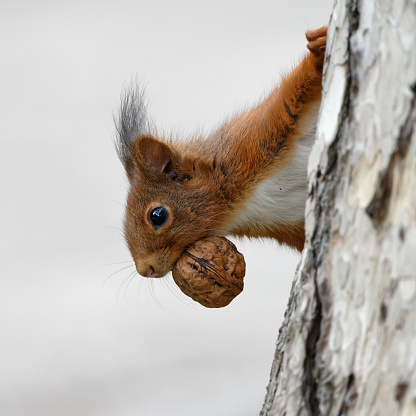 close up of a squirrel climbing a tree with a walnut in its mouth