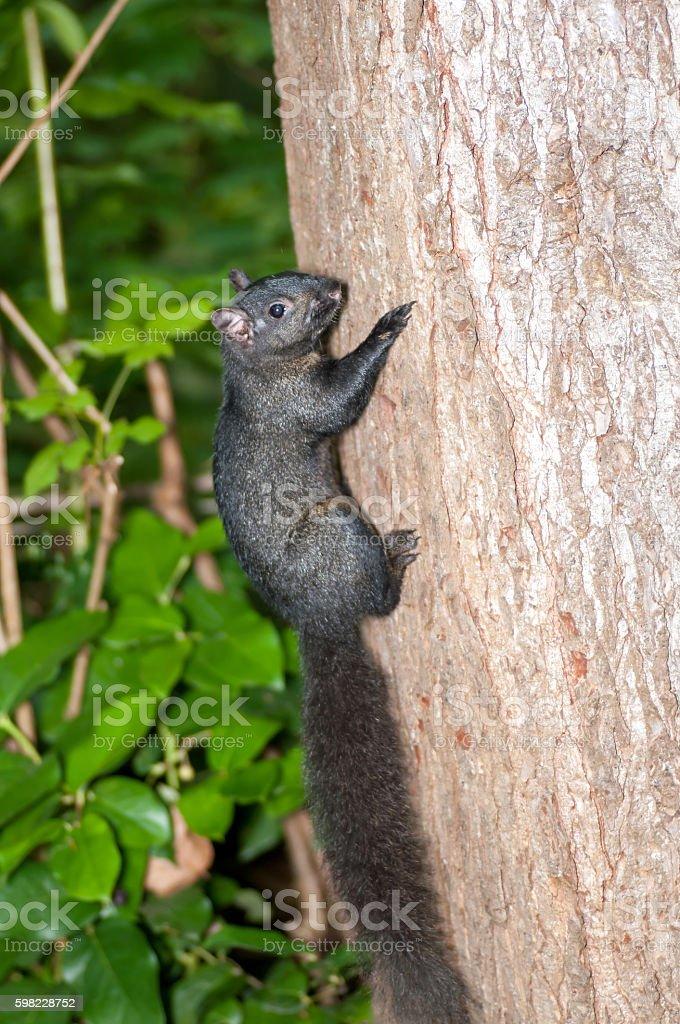 Esquilo subir tronco de uma árvore foto royalty-free