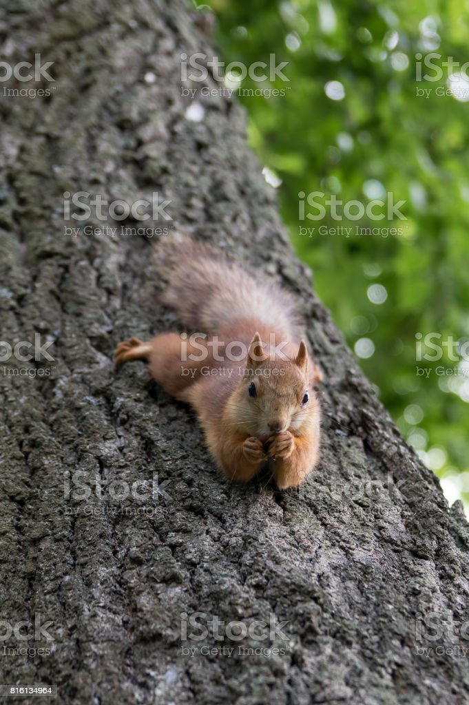 Squirrel close-up hanging and eating a nut. stock photo