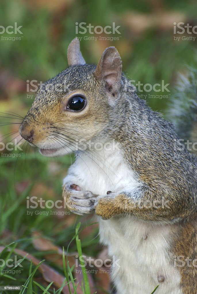 Squirrel close-up, holding paws together, looking attentive royalty-free stock photo