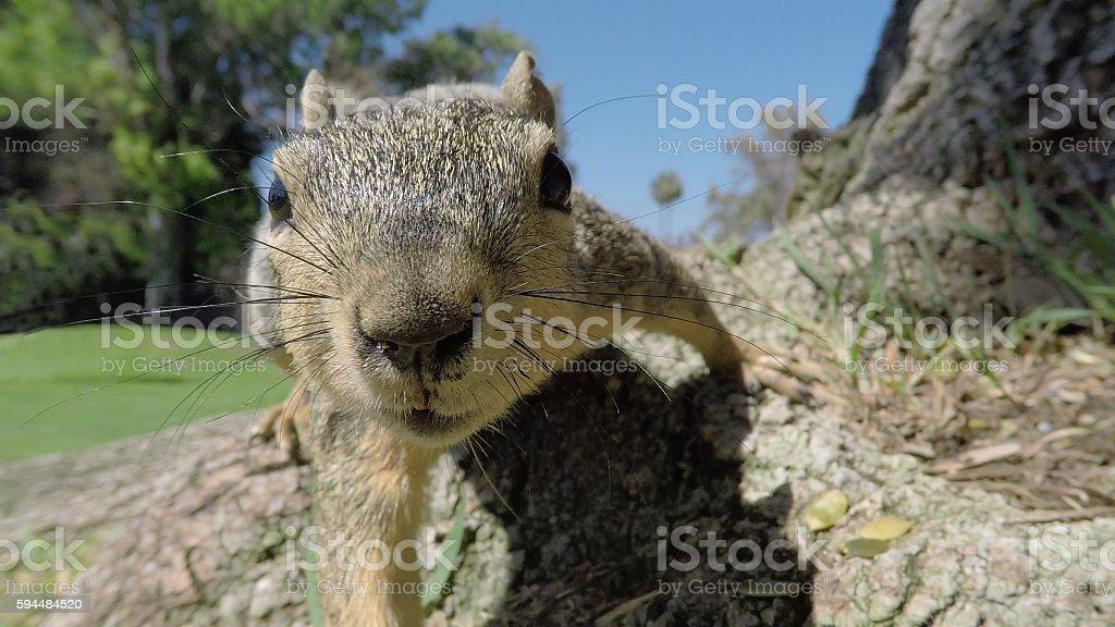 Squirrel Closeup Macro stock photo