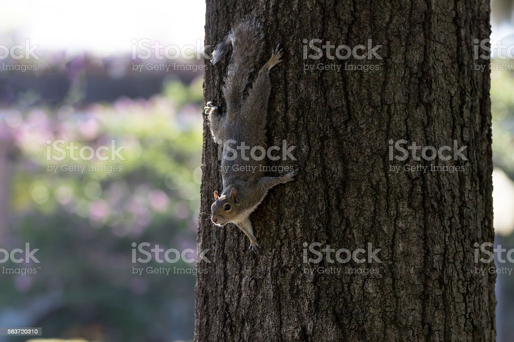 Squirrel Coming Down a Tree, Winter Park, Orlando, Florida stock photo