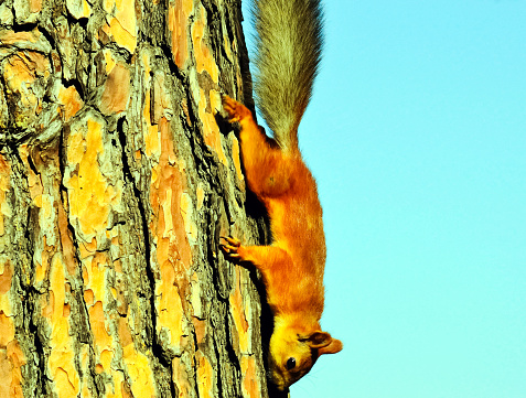 Squirrel crawls to the bottom of the tree. A forest rodent.