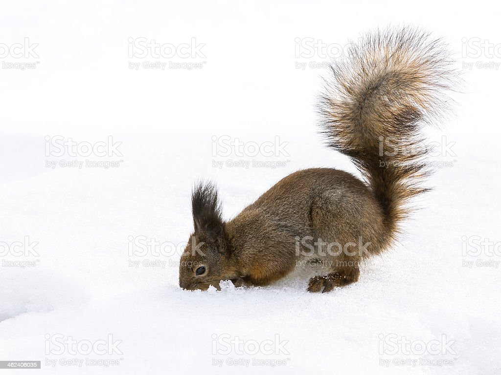Squirrel digs through the snow in search of quick meal stock photo