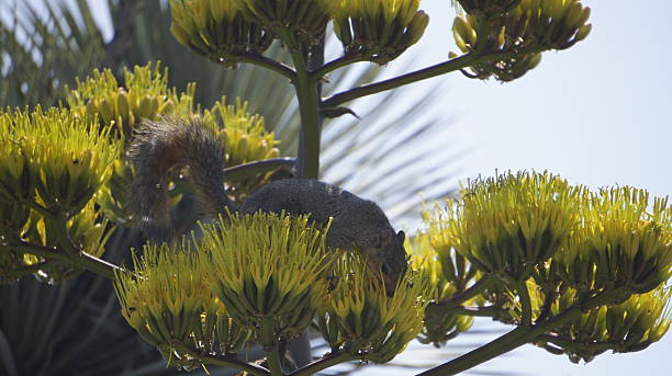 Squirrel dinning on agave flower stock photo