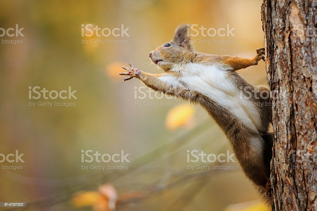 Squirrel eagerly reaching for what she want most stock photo