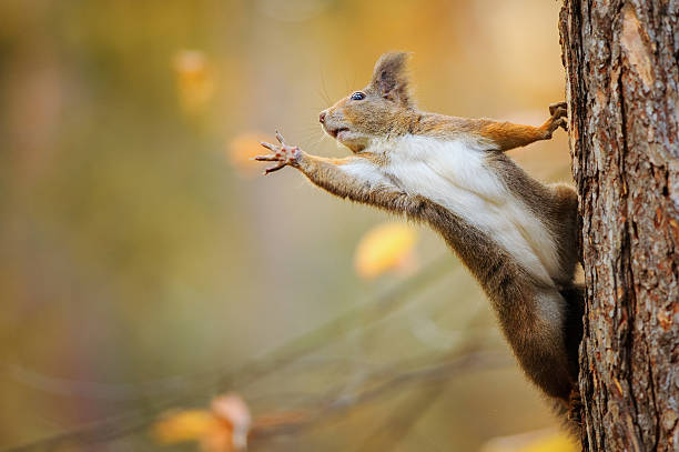 Squirrel eagerly reaching for what she want most Cute red squirrel on the tree trunk eagerly reaching for what she want most by her paws animal hand stock pictures, royalty-free photos & images