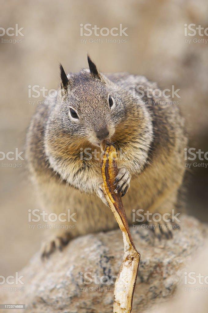 Squirrel eating a banana peel stock photo